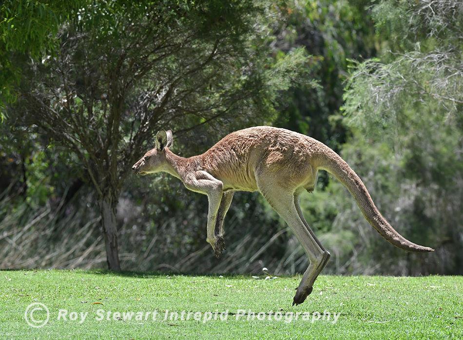 Grey Kangaroo, Western Australia