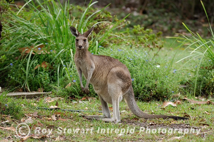 Grey Kangaroo, NSW, Australia