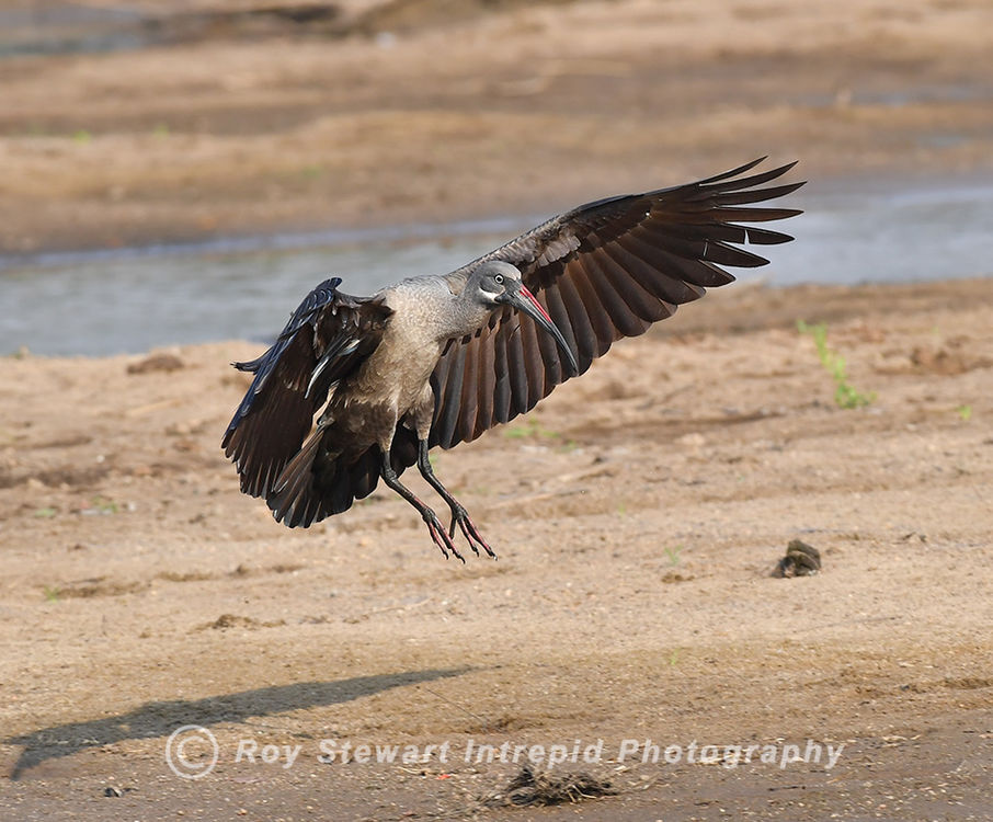 Hadeda Ibis, South Luangwa NP, Zambia