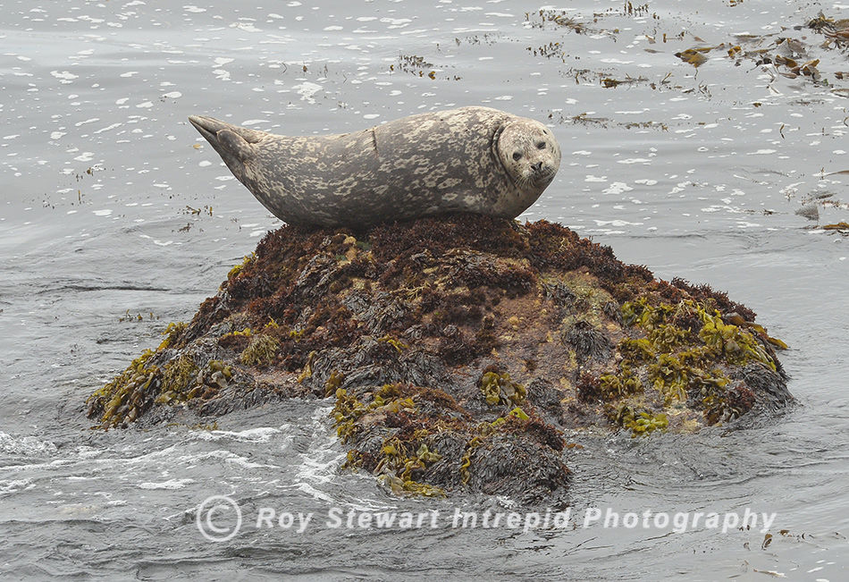 Harbor Seal, California, USA
