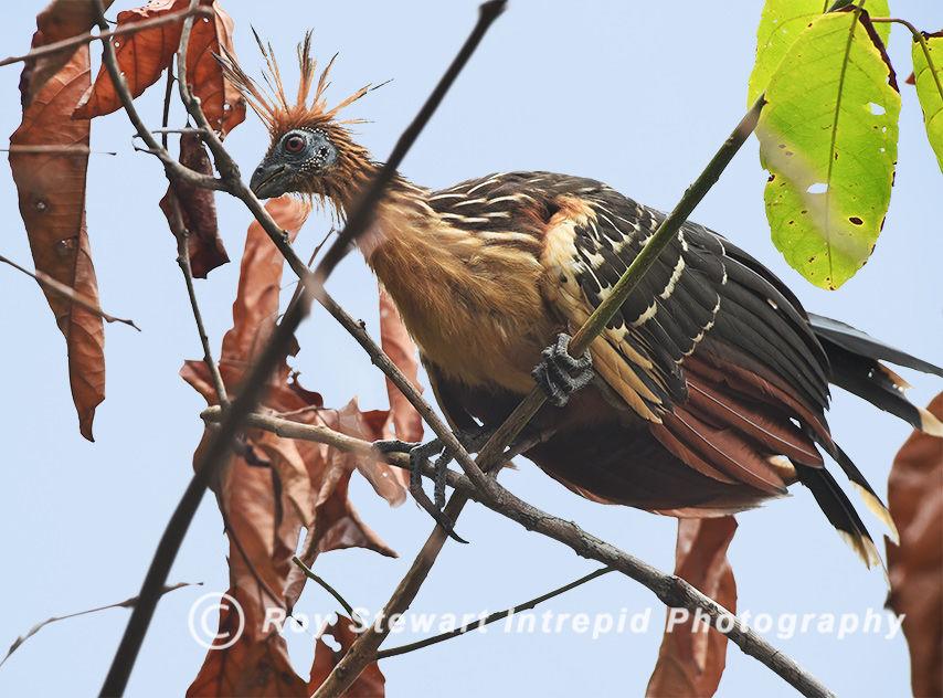 Hoatzin, Amazonas, Brazil