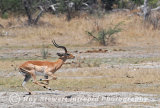 Impala,  Botswana