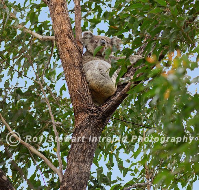 Koala Bear, NSW, Australia