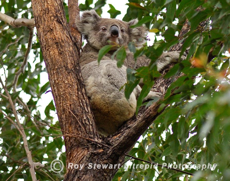 Koala, NSW, Australia