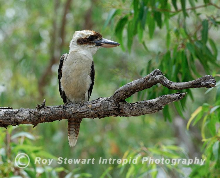 Kookaburra,  Australia
