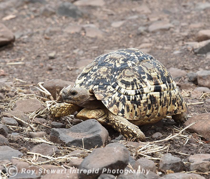 Leopard Tortoise, Chobe NP, Botswana