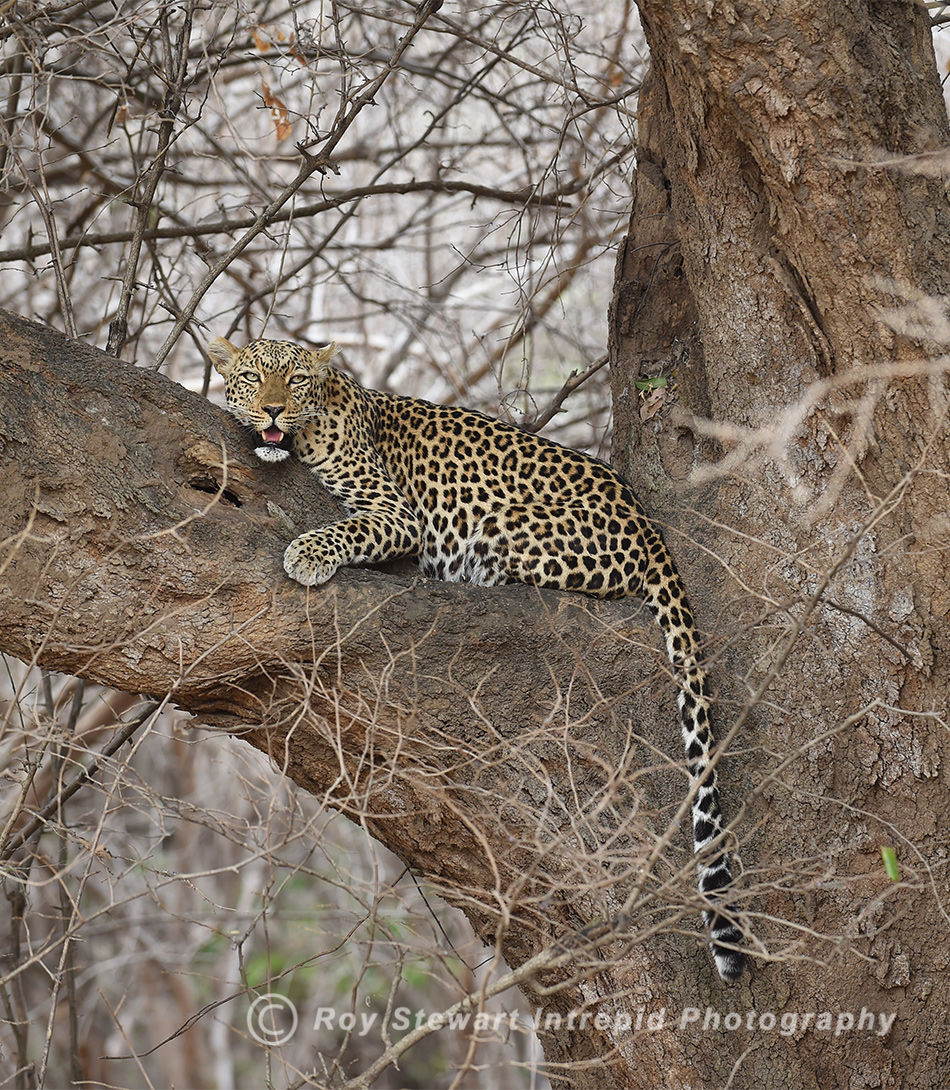 Leopard, South Luangwa NP, Zambia