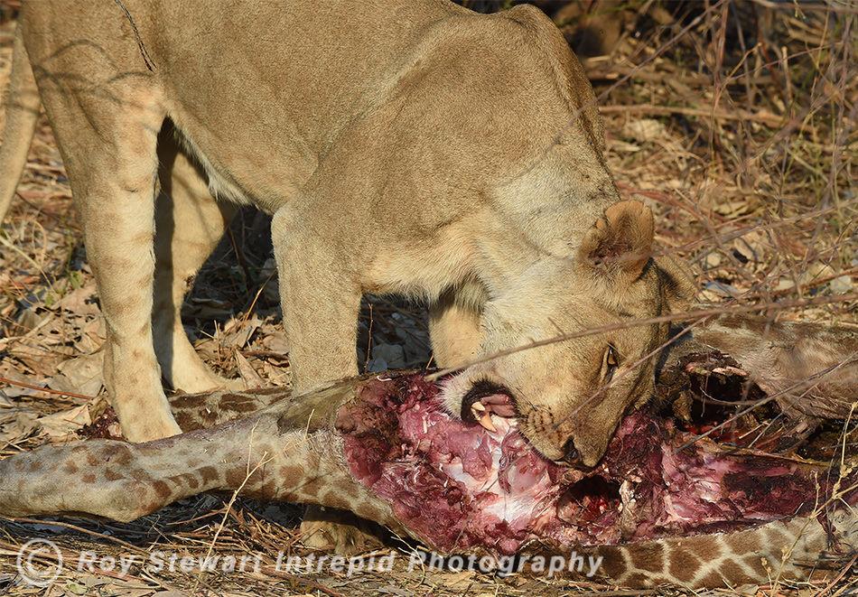 Lion lunch, South Luangwa, Zambia