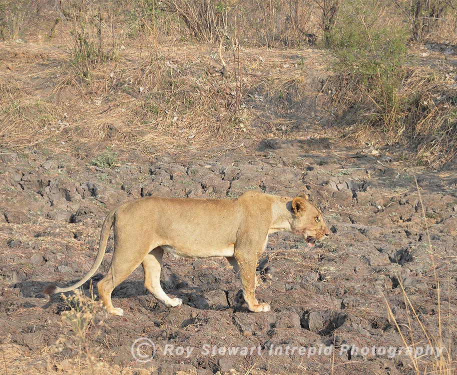 Lioness, South Luangwa NP, Zambia