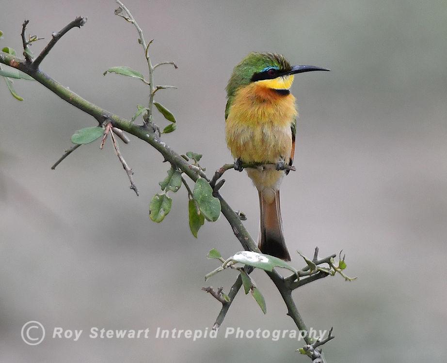 Little Bee Eater, Chobe NP, Botswana