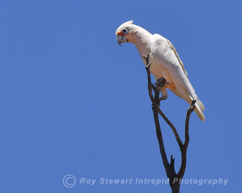 Little Corella, Western Australia