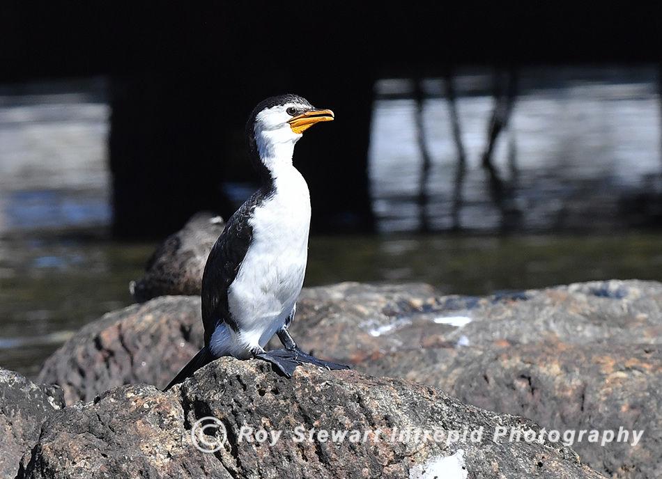 Little Pied Cormorant, Western Australia