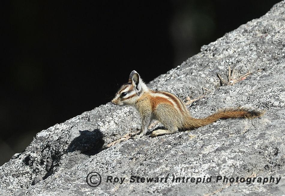 Lodgepole Chipmonk, California, USA