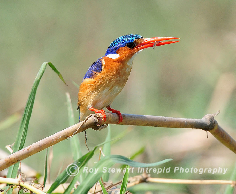 Malachite_Kingfisher,_Botswana