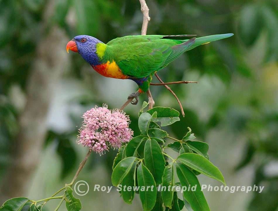 Rainbow Lorikeet, Queensland, Australia