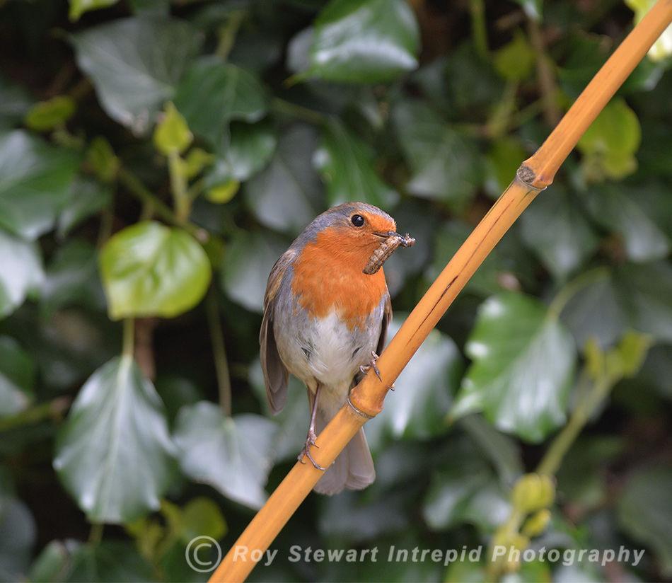Robin, Ireland