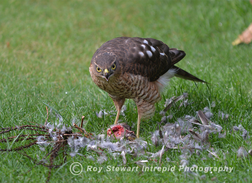 Sparrowhawk, Ireland