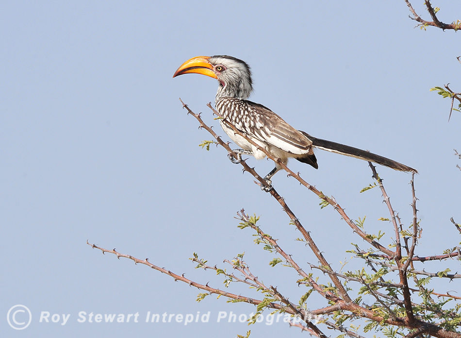 Southern Yellow-billed Hornbill, Namibia