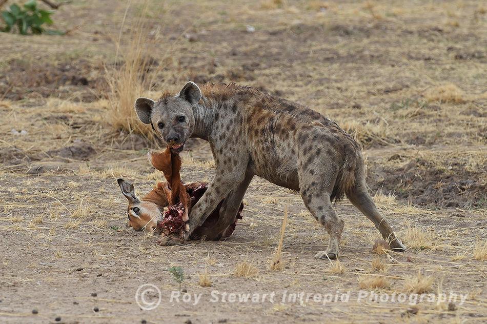 Spotted Hyena, South Luangwa, Zambia