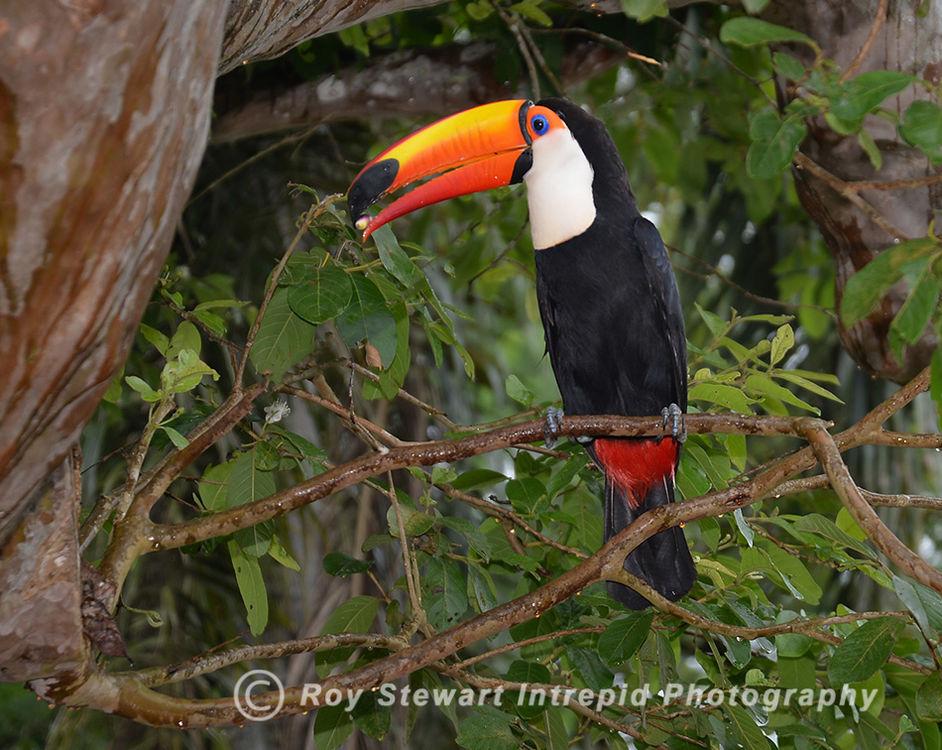 Toco Toucan, Iguazu, Argentina