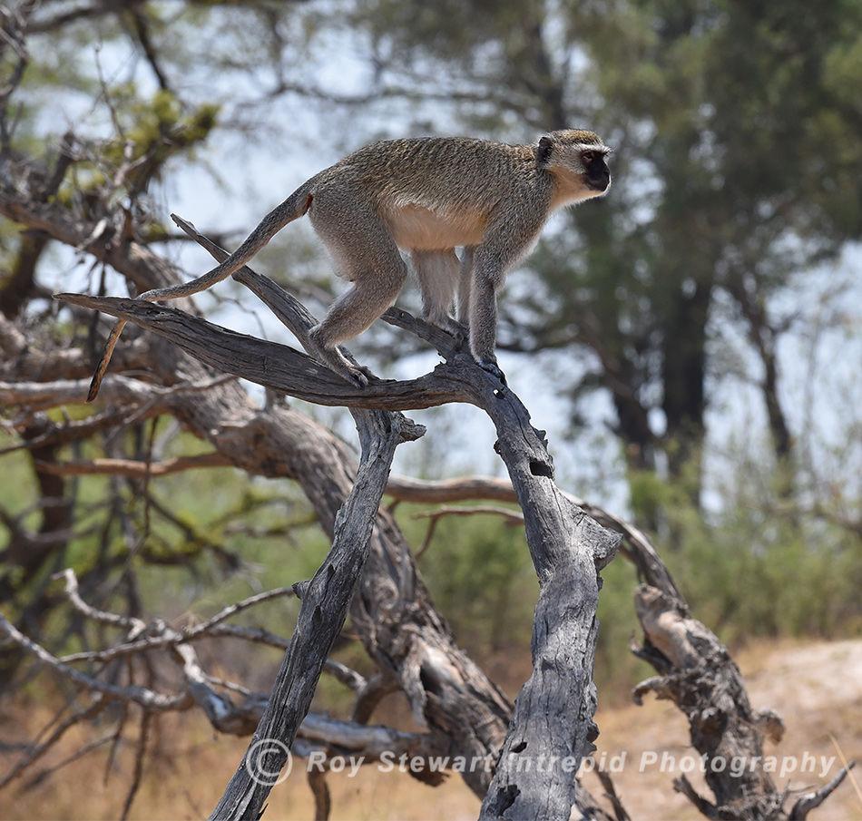Velvet Monkey, Botswana