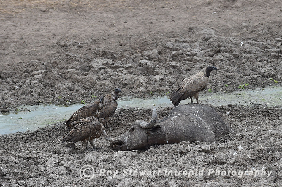 Vultures, South Luangwa NP, Zambia