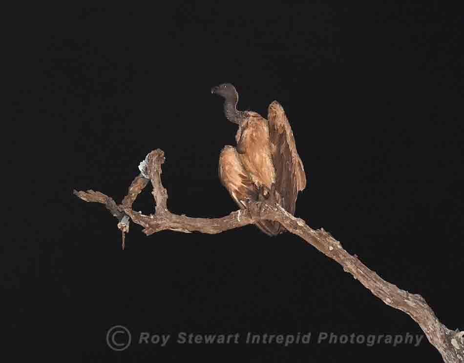 White Backed Vulture, South Luangua, Zambia
