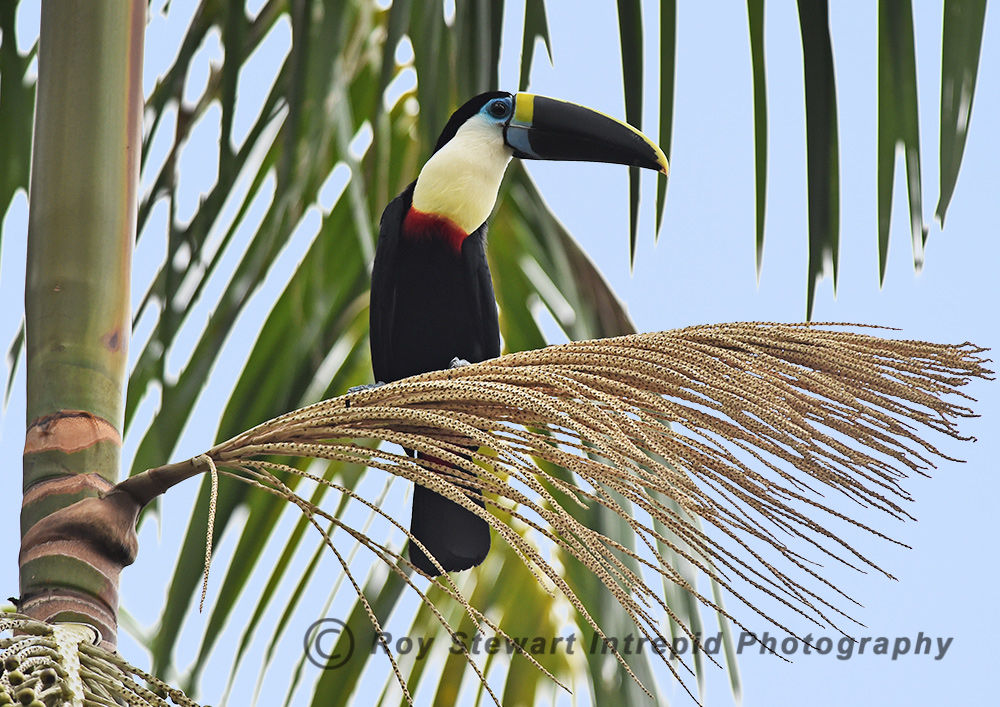 White Throated Toucan, Amazonas, Brazil