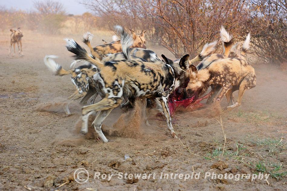 Wild Dog Frenzy, CKGR, Botswana