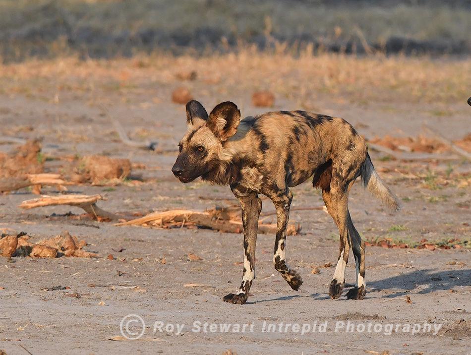 Wild Dog, Moremi GR, Botswana