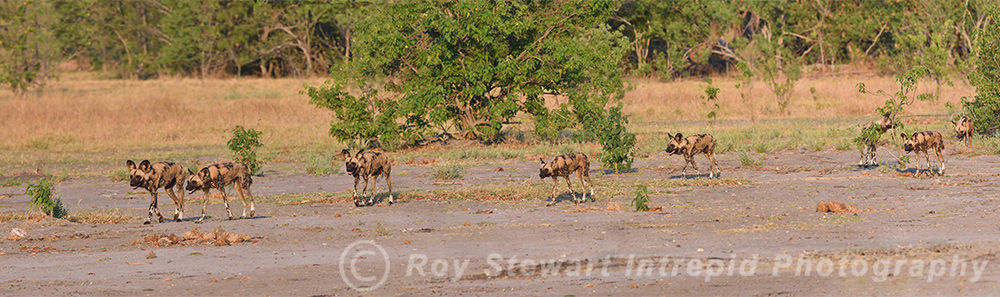 Wild dogs on the hunt, Moremi, Botswana