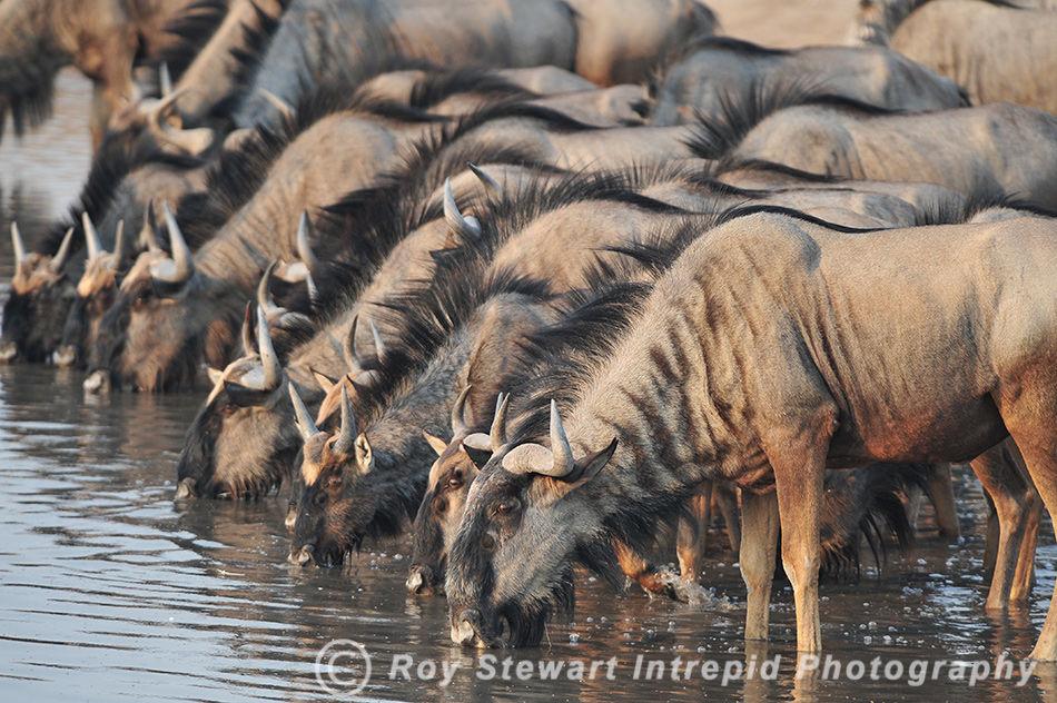 Wilderbeast, Etosha NP, Namibia