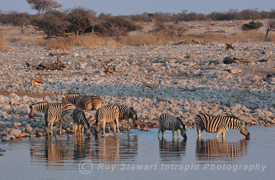Zebra at Dusk, Etosha Namibia