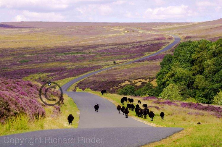 Black Sheep Walking over Spaunton Moor