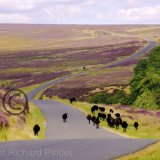 Black Sheep Walking over Spaunton Moor