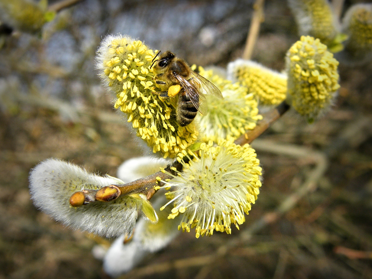 Bee and catkin.