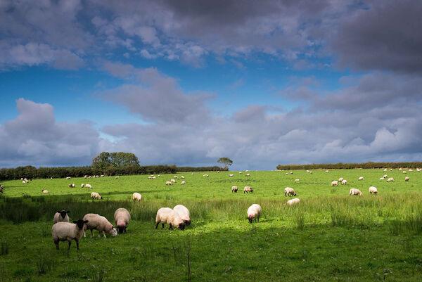 Sheep's view