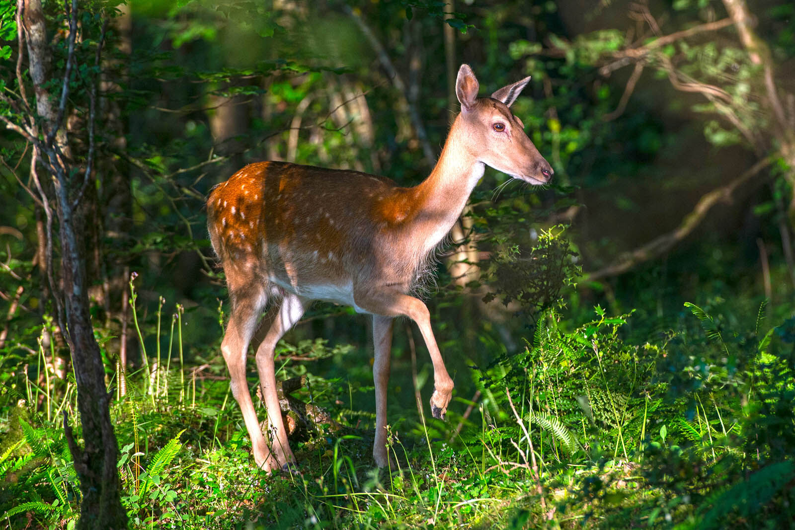 Fallow deer in the woods.