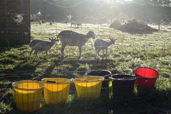 Buckets of goats.