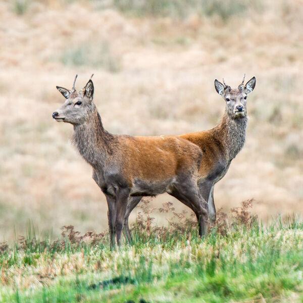 """""""Push me pull you"""" Deer"""