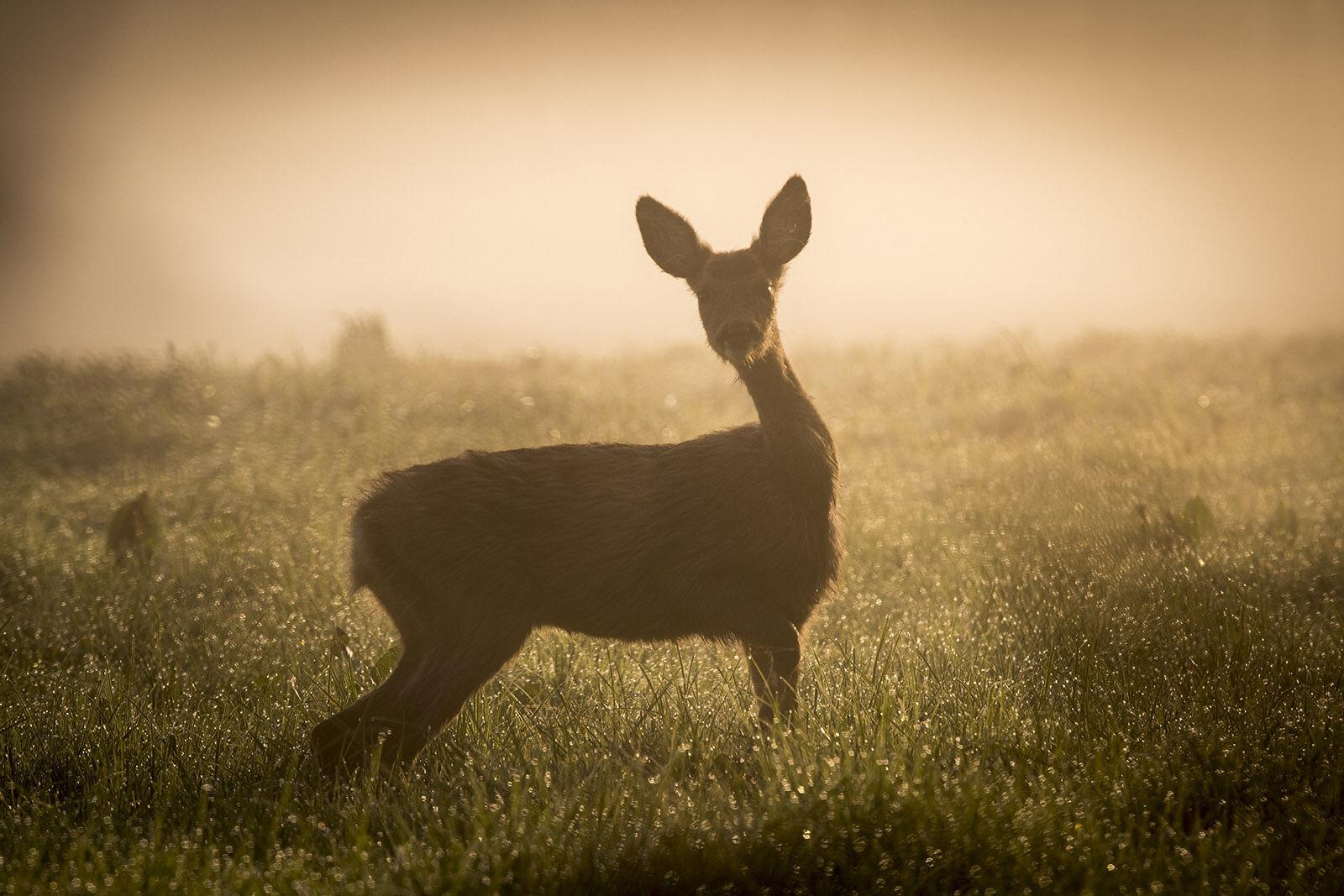 The curious deer.
