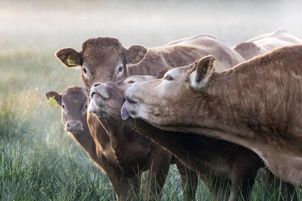 Cows lick.
