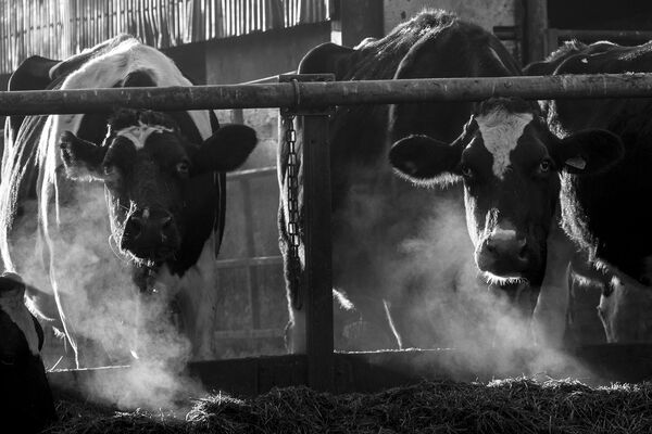 cow breath