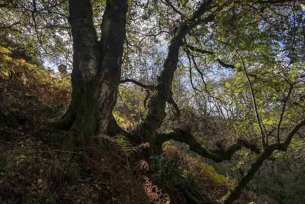 Dartmoor birch tree, Belstone