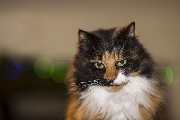 Myfanwy cat.