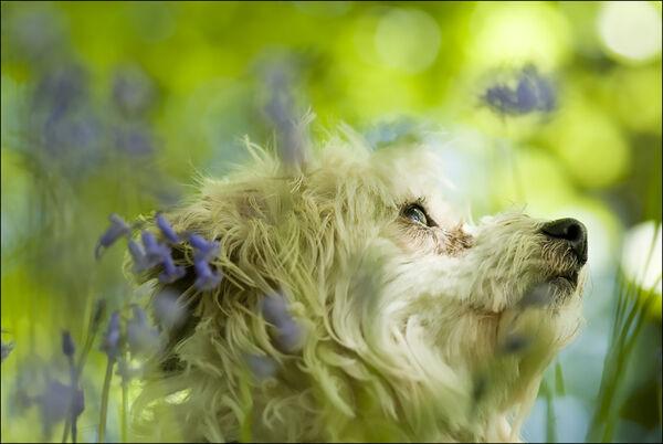 Dog in bluebells.