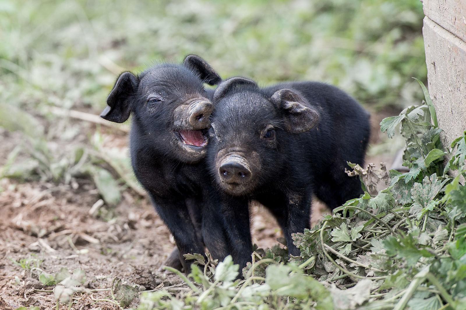 Cornish black piglets.