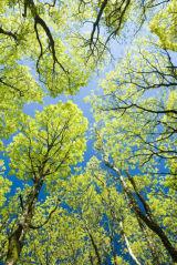 Golden Oak Spring Flush.