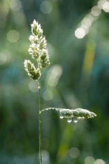 Grass seeds and Dew Drops