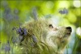 Poppy in bluebells